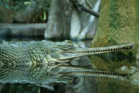 The green Crocodile