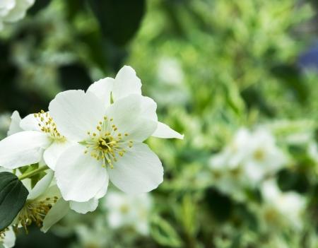 jasmine flower: white philadelphus