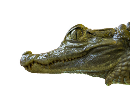 alligator eyes: isolated crocodile head