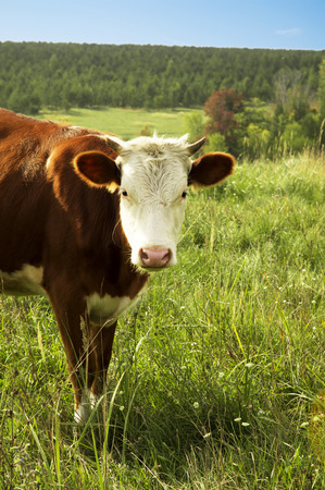 brown cow with a pink nose and white head Standard-Bild