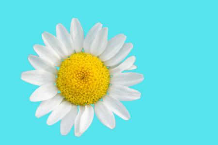 isolated chamomile