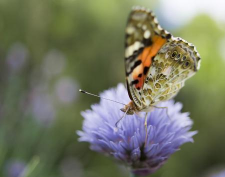 butterfly on a cornflower Standard-Bild