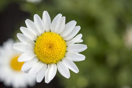chamomile Standard-Bild