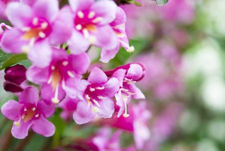 flowers of pink weigela Standard-Bild