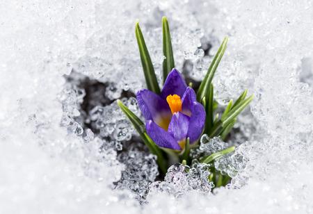 early spring snow: purple crocus with snow Stock Photo