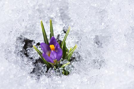 awaking: purple crocus