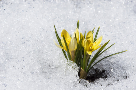 early spring snow: yellow crocuses