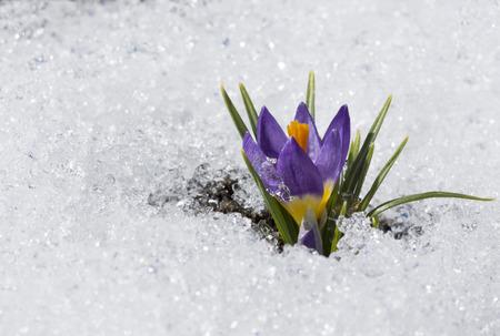purple crocus with water droplet