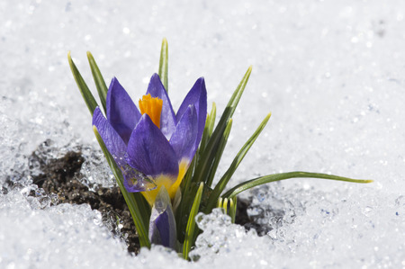 early spring snow: purple crocus with droplet