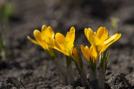 Yellow crocuses Standard-Bild