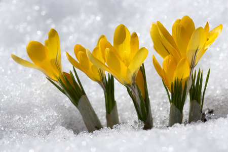 early spring snow: Yellow Crocuses in snow