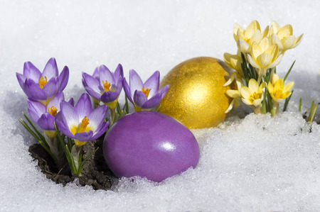 Ostereier mit gelben und lila Krokusse Standard-Bild - 65718929