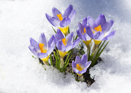 purple crocuses on snow Stock Photo
