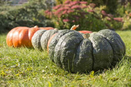 row of pumpkins on a lawn