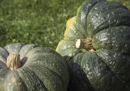 two green pumpkin close-up