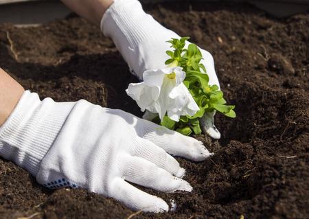 planting white flowers