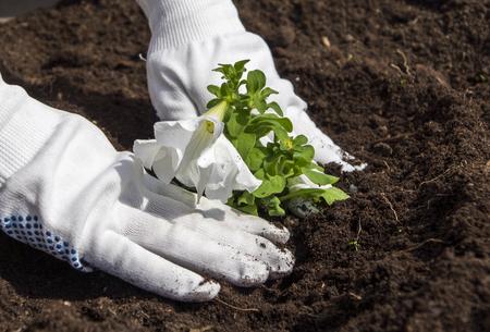 planting white petunia