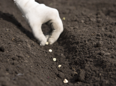 sowing pea seeds 写真素材