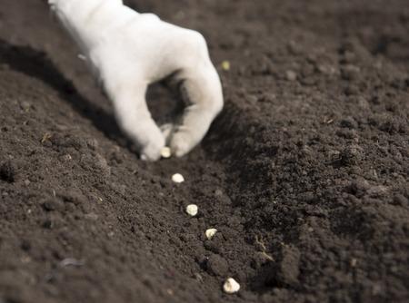 sowing pea seeds Standard-Bild