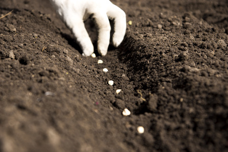 Sowing pea seeds. Focus on the hand