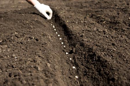 siembra: sembrando las semillas de guisante Foto de archivo