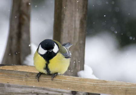 the great tit, winter