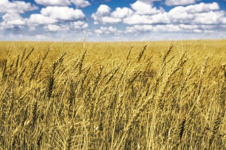 Feld von Weizen und Himmel mit Wolken Standard-Bild - 71730554