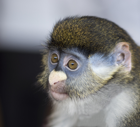 portrait of guenon 写真素材