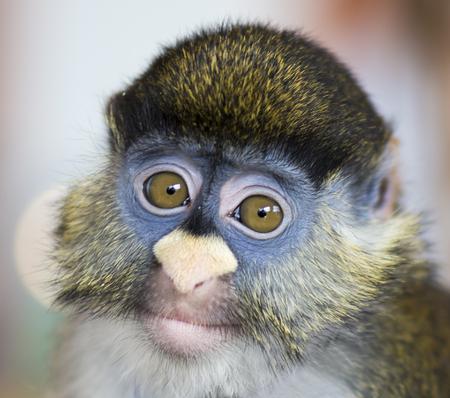 Schmidt's guenon monkey