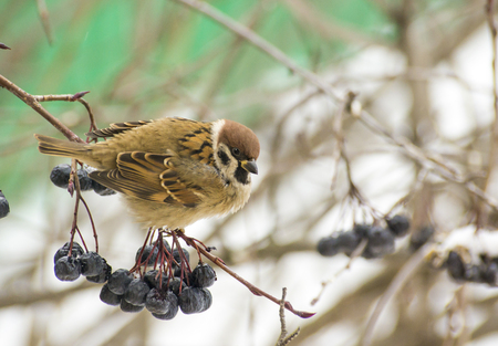 sparrow with black berries