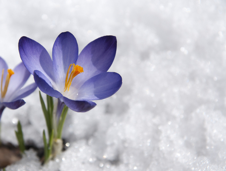 single purple crocus Standard-Bild