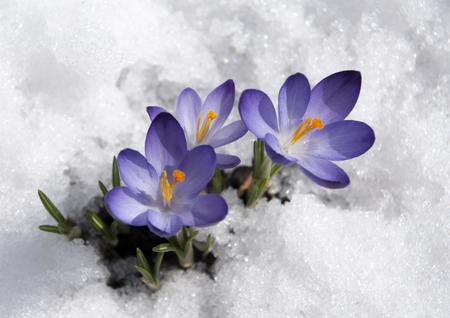 purple crocuses closeup