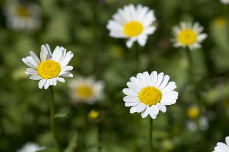 field of chamomile Standard-Bild - 117671676