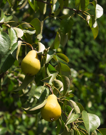 two yellow pears at the tree