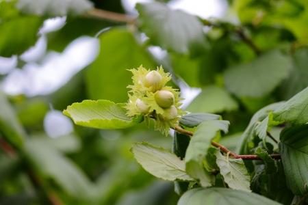 Hazelnuts Reklamní fotografie