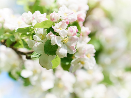 day flowering: beautiful flowering apple trees. background with blooming flowers in spring day. Stock Photo