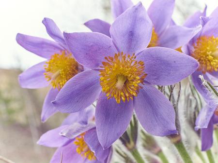 pulsatilla: Pasque Flower, first spring flower (Pulsatilla vulgaris)