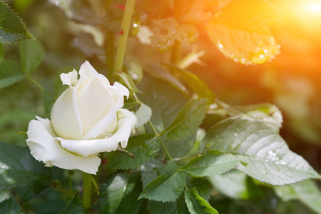 naturalization: A simple rose in a garden of dew