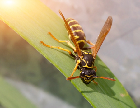 paper wasp: Wasp in the grass close-up. Macro.