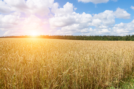 A wheat field, fresh crop of on a sunny day. Rural Landscape.Blue sky with fluffy clouds.