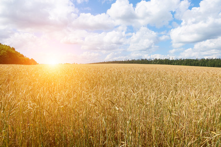 Golden Wheat Field With Blue Sky In Background. Summer Landscape.