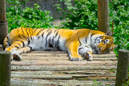 Young bengal tiger lying on boards on wooden bridge. Large tiger rests on a hot, sunny day. Striped Tiger close-up.