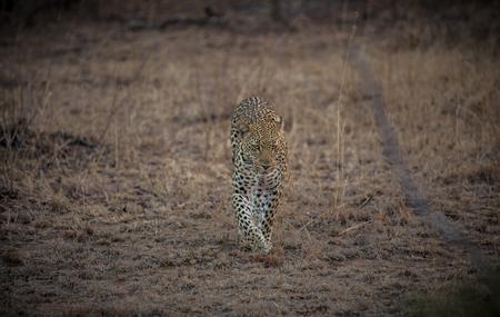 Leopard in the Savanna Stock Photo