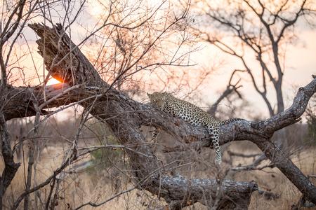 Leopard in the sundown