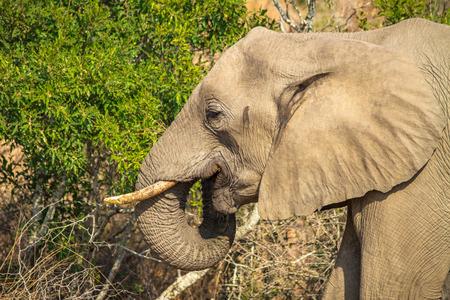 eating elephant Stock Photo