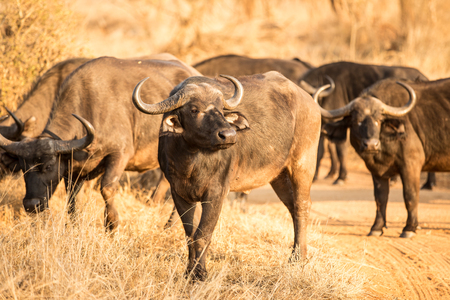 African Buffalo stove Stock Photo