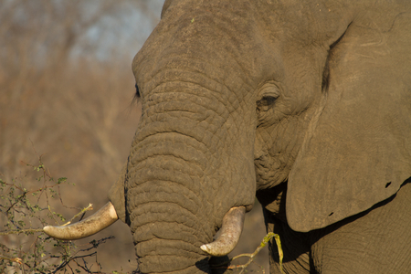 Olifantsportret, Zuid-Afrika Stockfoto