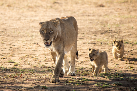 Lion Family, South Africa