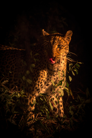 Leopard at Night, South Africa