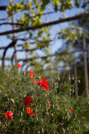 Red Poppy under the Wine